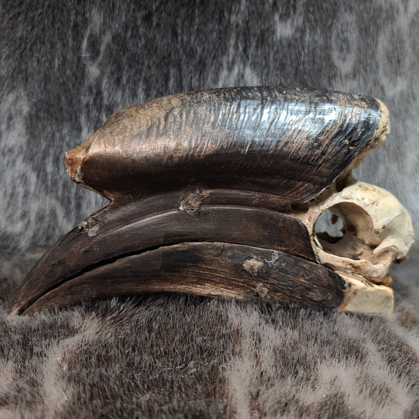 Black Casqued Hornbill Skulls, Male D (CRAFT)