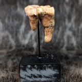 Cavebear Molar (On Stand) G