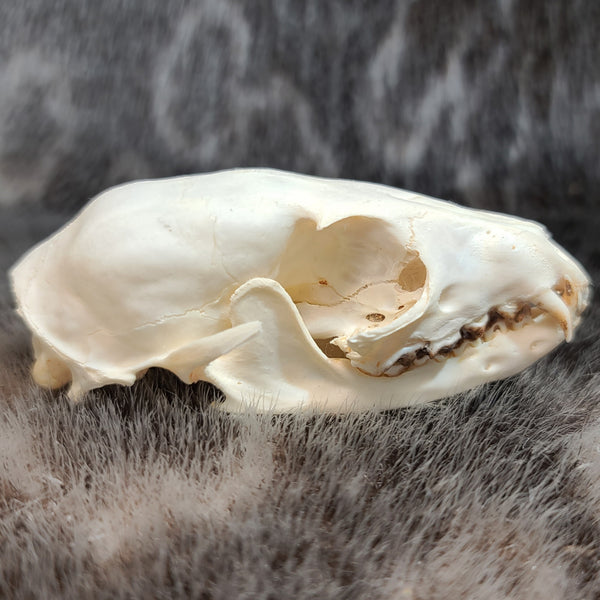Common Kusimanse Mongoose Skull E