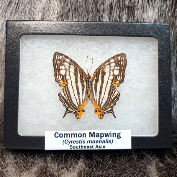Common Mapwing Butterflies
