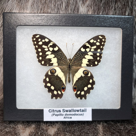 Citrus Swallowtail Butterfly