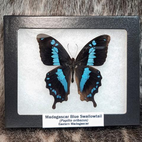 Madagascar Blue Swallowtail Butterfly