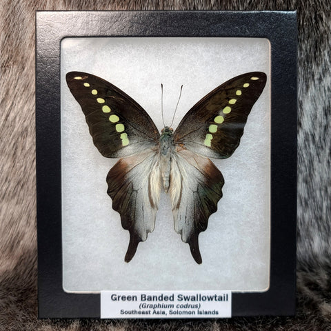Green Banded Swallowtail Butterfly