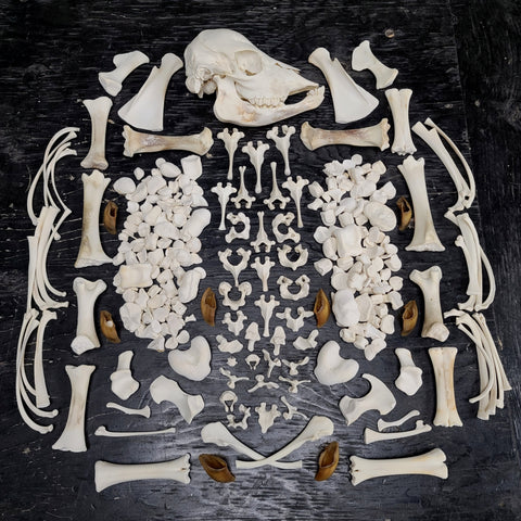 Stillborn Highland Cattle Skeleton, Disarticulated