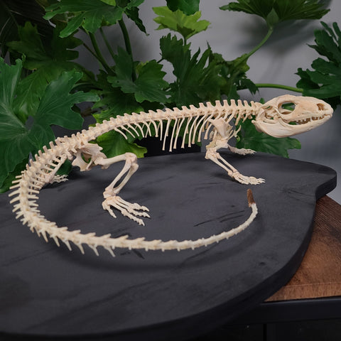 Black and White Tegu Skeleton, Female