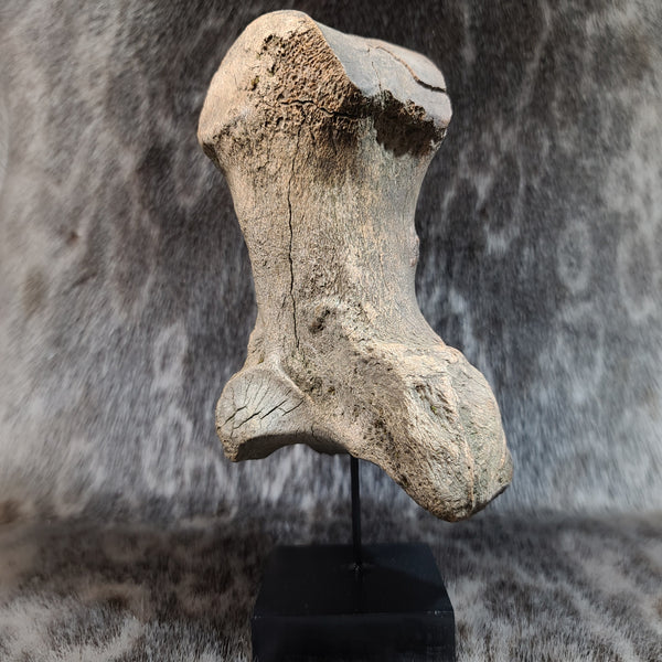 Woolly Mammoth Toe Bone D (ON STAND)