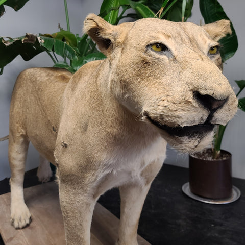 Lioness Taxidermy Mount