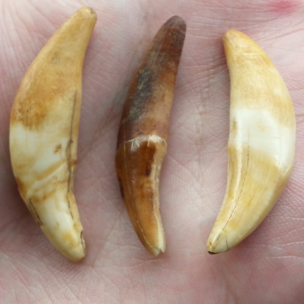 Fossil Sled-Dog Teeth