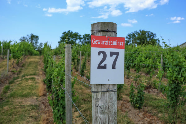 Row of Gewurztraminer Grapes in a Winery