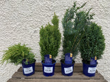 Mini Conifers Mixed