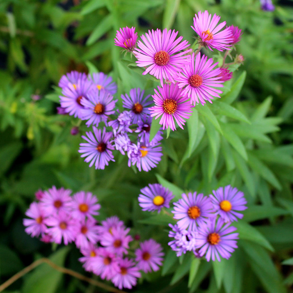 New England aster (Symphyotrichum novae-angliae). A fall-blooming meadow aster with bright purple or pink flowers, yellow centers.