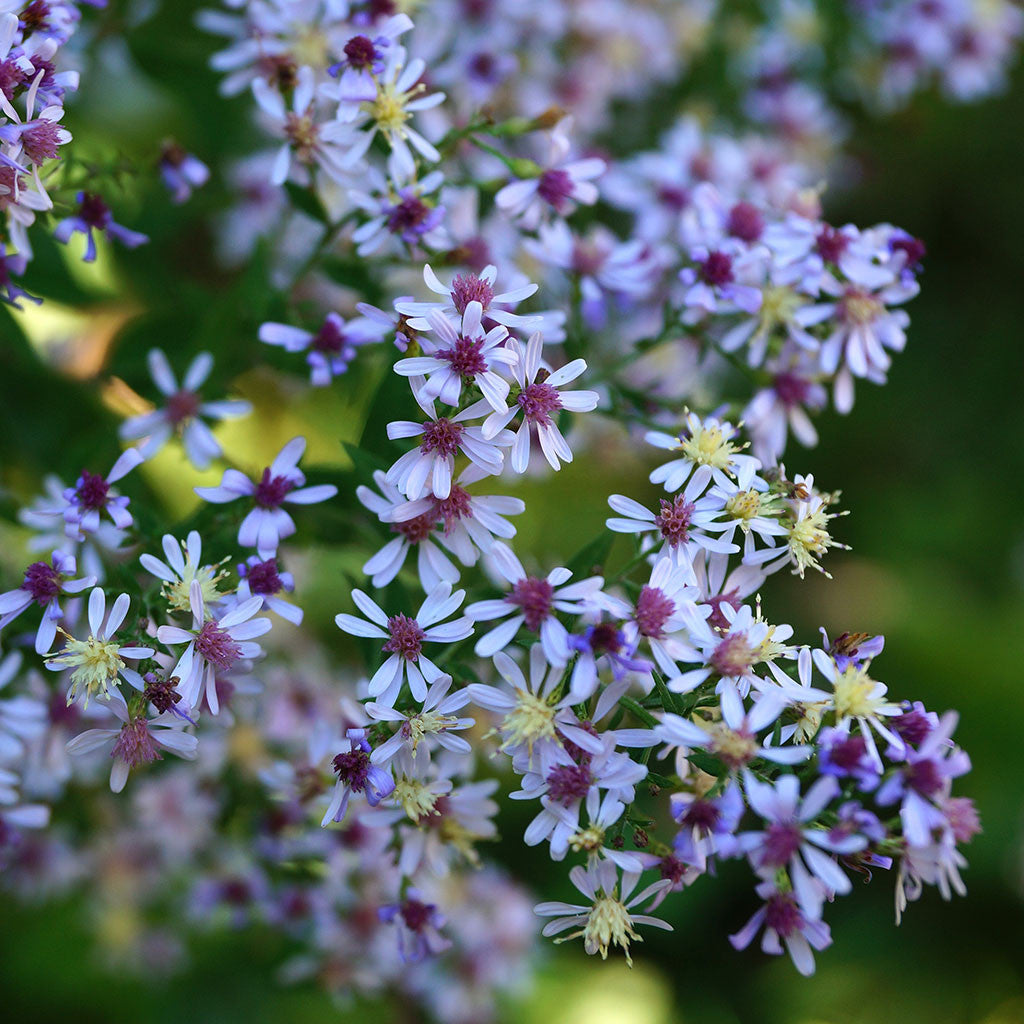 Blue wood-aster (Symphyotrichum cordifolium). A fall-blooming aster with billowy lavender blue daisy-like flowers and heart-shaped leaves, thrives in the woodland edge or disturbed areas in poor soil.