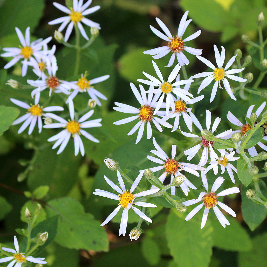 Large-leaved wood-aster, Eurybia macrophylla: Late summer-blooming woodland aster with pale lavender flowers. Large leaves create a groundcover in shady dry soils. Attracts pollinators.