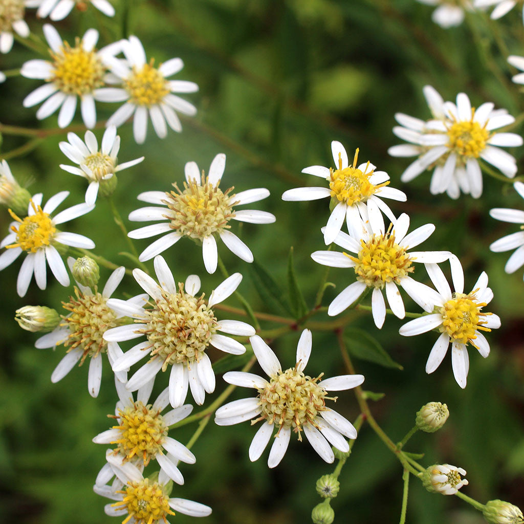 Tall White Aster Doellingeria Umbellata Maine Native Attracts