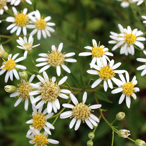 Asters — Tall white-aster (Doellingeria umbellata) Seeds