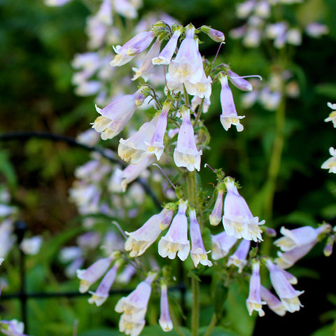 Beardtongues<br> Northeastern beardtongue (Penstemon hirsutus)