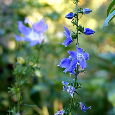 Bellflowers — Tall American Bellflower (Campanula americana) Seeds