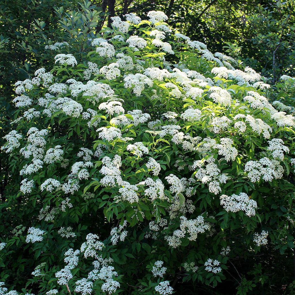 Black elderberry, Sambucus nigra: Large native shrub with summer blooming white flowers and purple fruits. Flowers attract pollinating insects, and fruits attract birds.