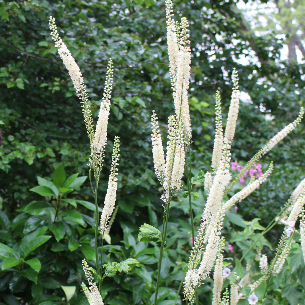 Black bugbane Actaea racemosa  Summer-blooming graceful white flower stalks above dark green foliage. Attracts bees.