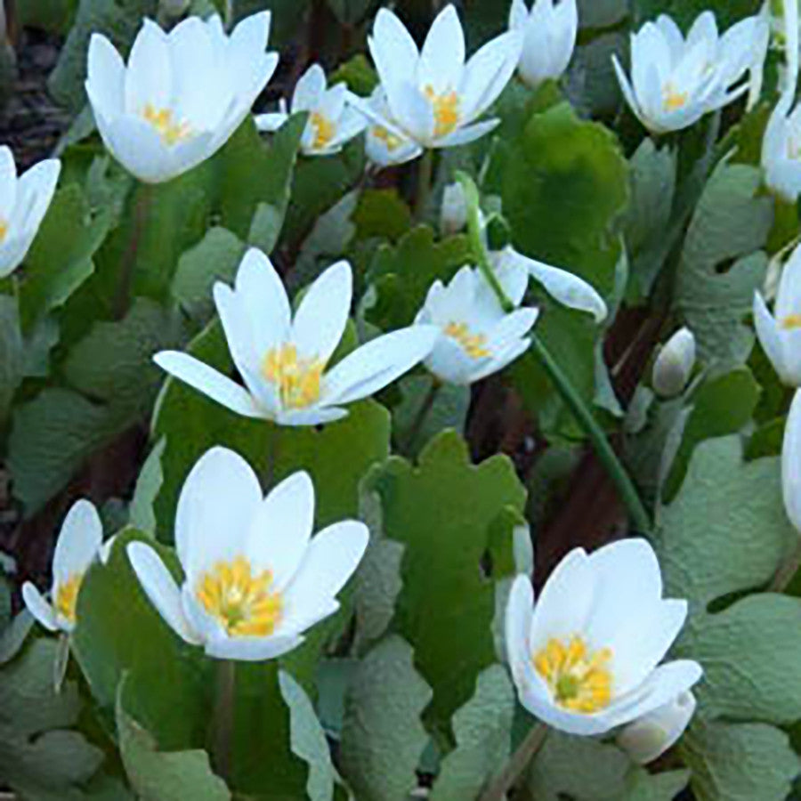 Blood-root (Sanguinaria canadensis) One of the first wildflowers to emerge in early spring with delicate white 1-2 inch flowers with yellow centers that are visited by the first pollinating insects.