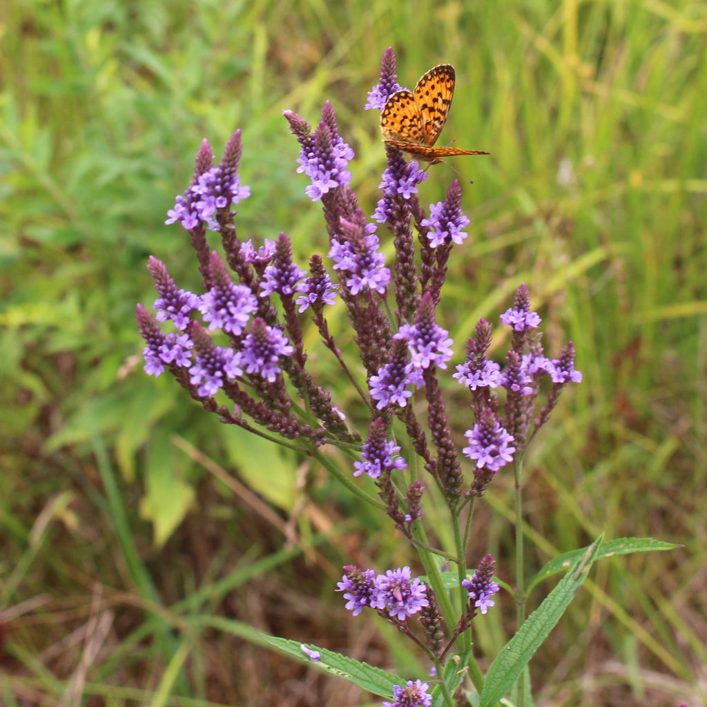 Blue vervain (Verbena hastata). Tall spikes of delicate purple flowers bloom and attract many insect and butterfly pollinators.