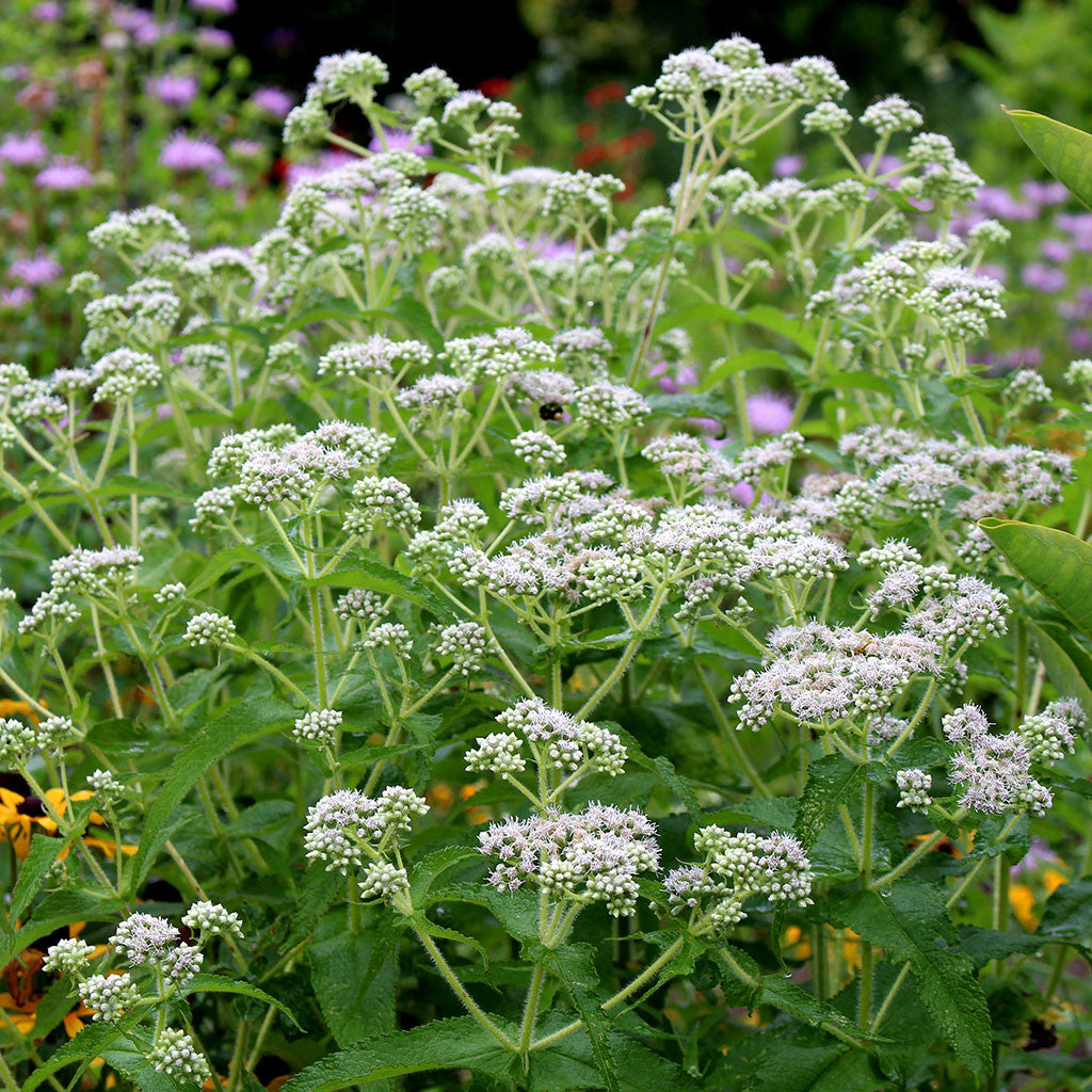Boneset, Eupatorium perfoliatum: Summer blooming bright white flower clusters attract butterflies and bees.