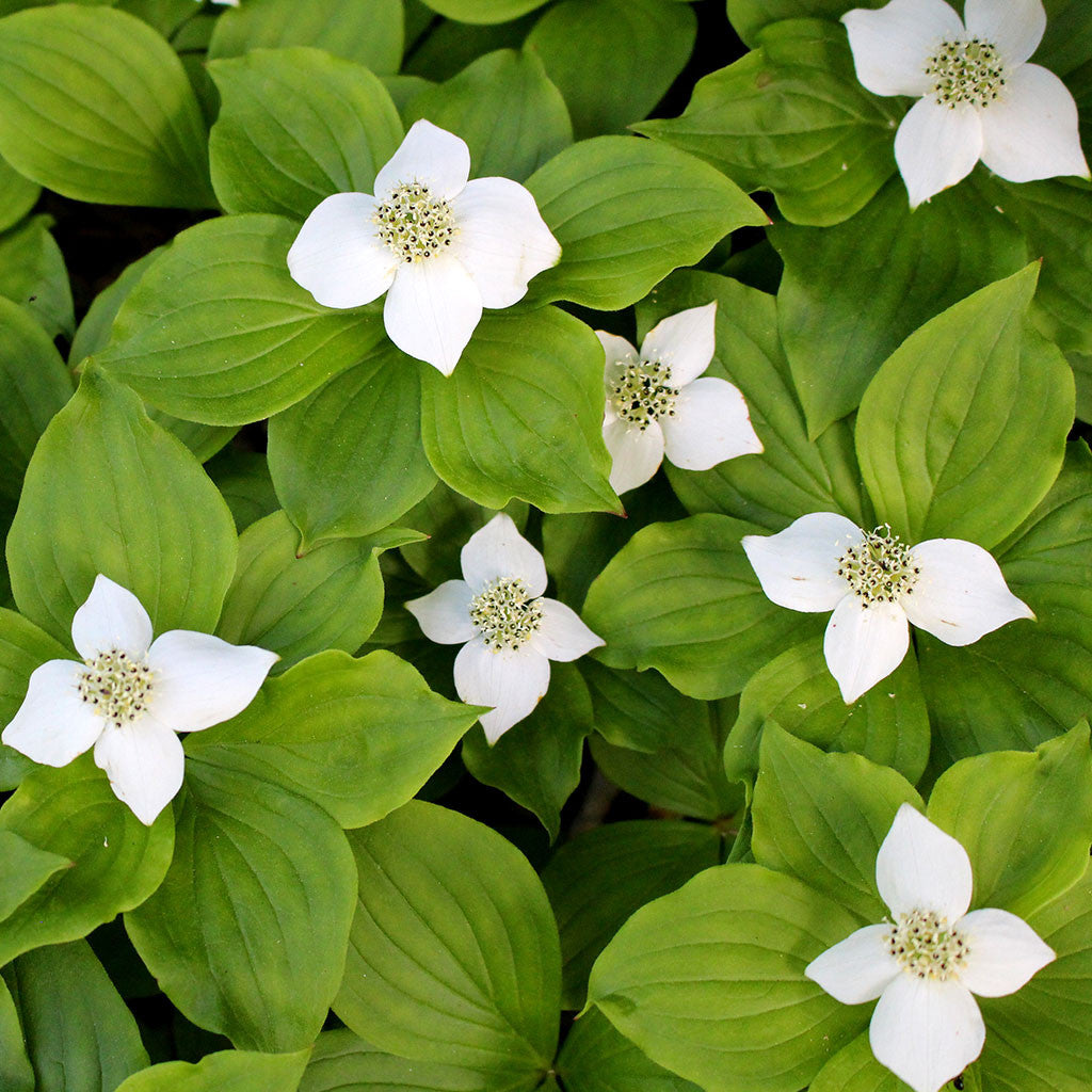 Bunchberry (Chamaepericlymenum canadense). A late spring blooming wildflower with distinctive white dogwood flowers, whorled leaves and bright red berries; a low groundcover.