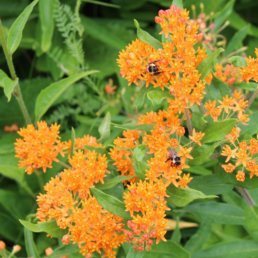 Butterfly milkweed (Asclepias tuberosa) A summer-blooming wildflower in the milkweed family that is an important host to the monarch butterfly.
