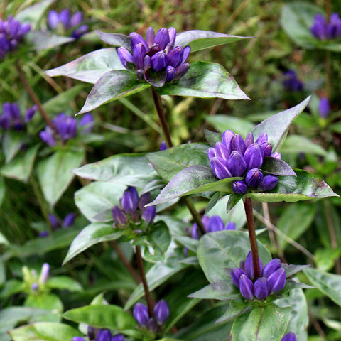Closed gentian, Meadow bottle gentian (Gentiana clausa) Seeds