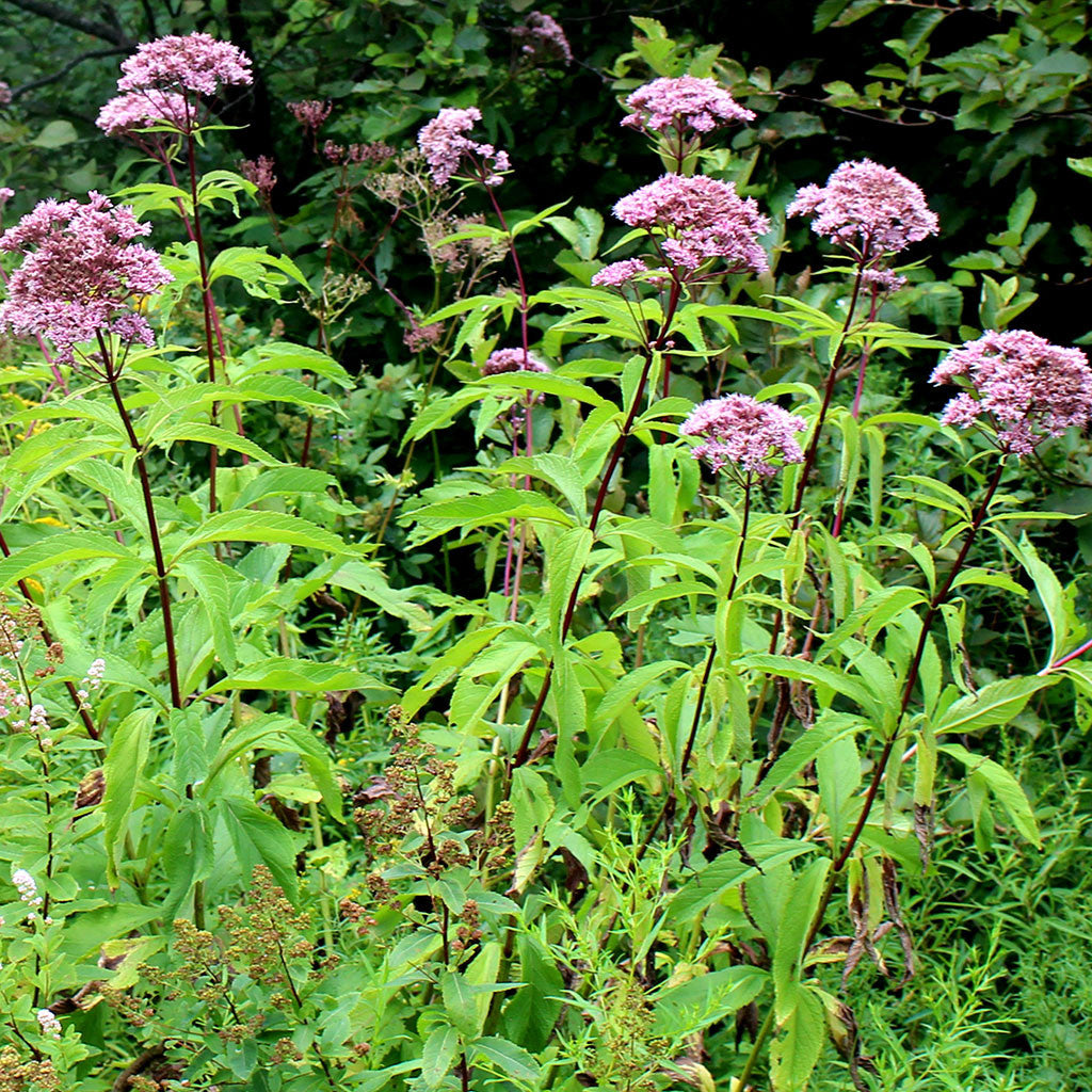Coastal Joe-Pye weed (Eutrochium dubium) Dramatic summer blooming wildflower is covered with dusty pink flat-topped flower clusters relished by butterflies and bees.
