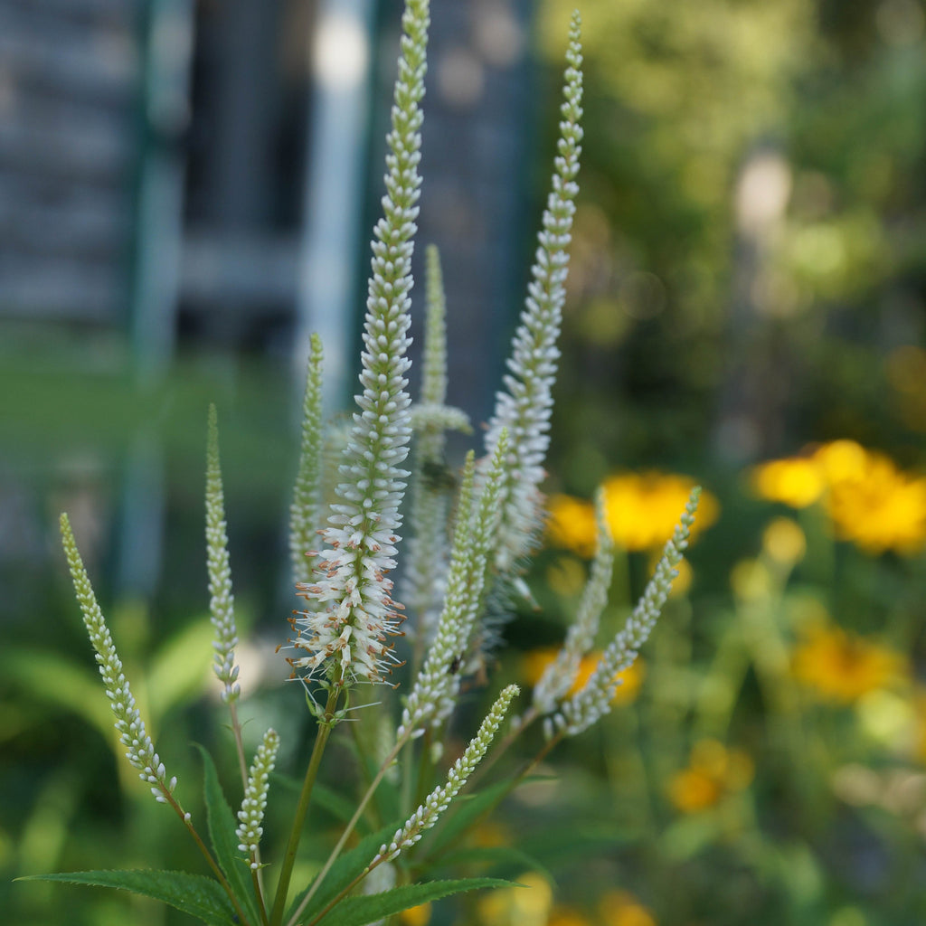 Culver's-root (Veronicastrum virginicum) In midsummer the tall white flower spikes burst into bloom and are covered with pollinating insects.