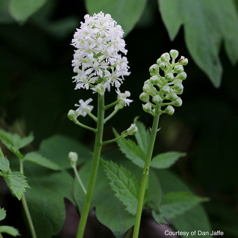 Baneberry <br>Doll's eyes (Actaea pachypoda)
