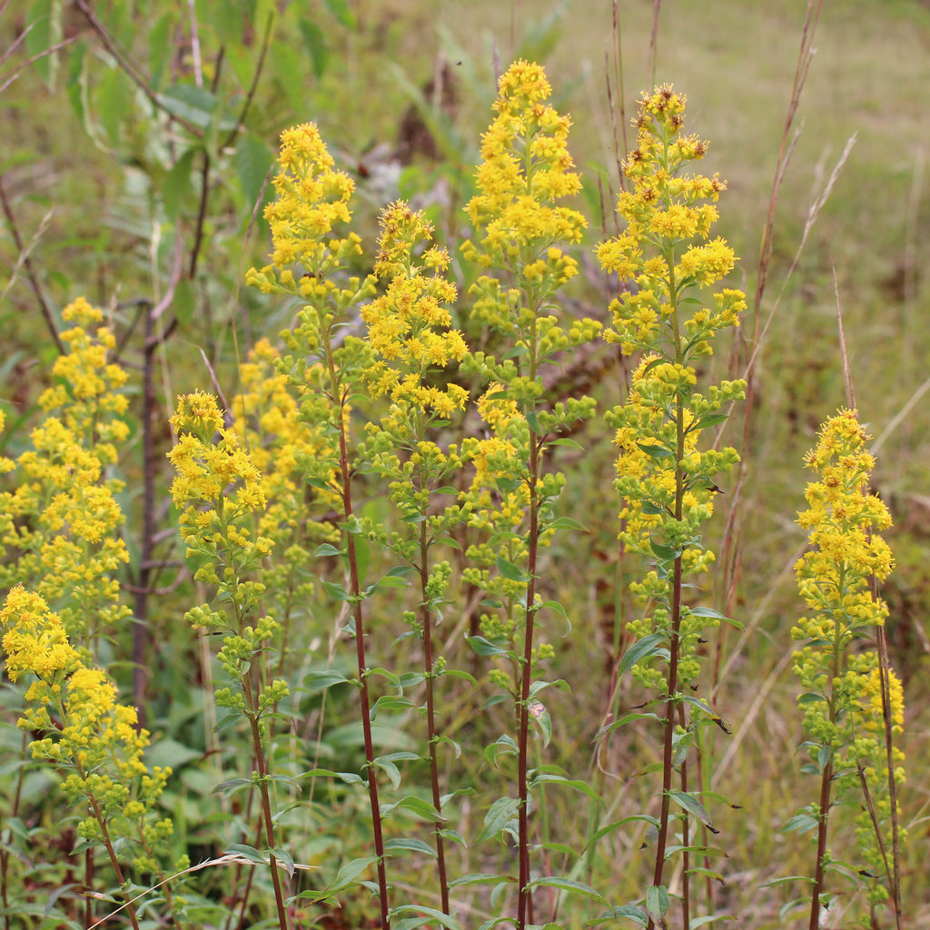 Downy goldenrod (Solidago puberula). Narrow plumes of small yellow flowers brighten the dry landscape in summer.