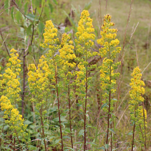 Goldenrods — Downy goldenrod (Solidago puberula) Seeds