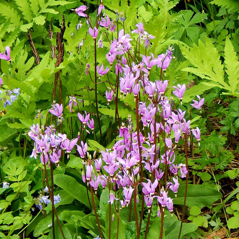 Eastern shooting star (Dodecatheon meadia) Seeds
