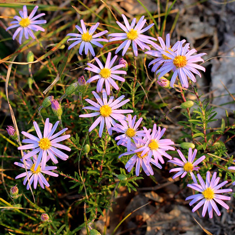 Asters<br> Flax-leaved stiff-aster (Ionactis linariifolia)