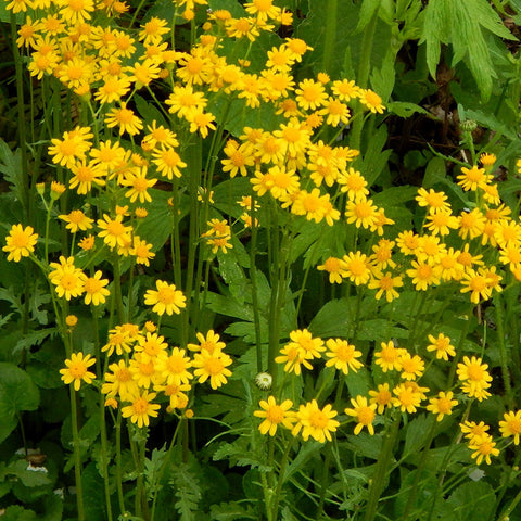 Golden groundsel (Packera aurea)
