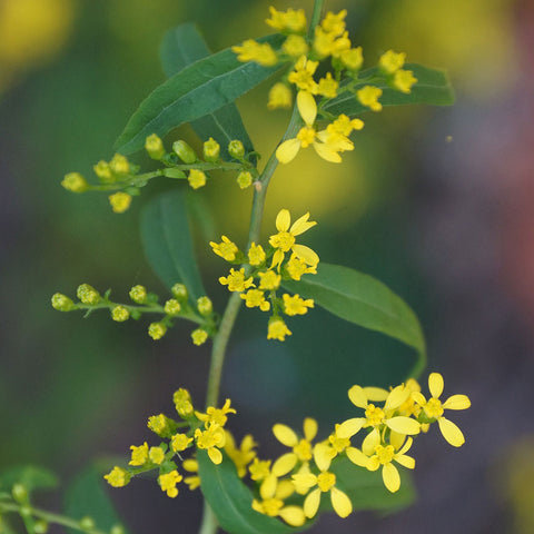 Goldenrods<br> Blue-stem goldenrod (Solidago caesia)