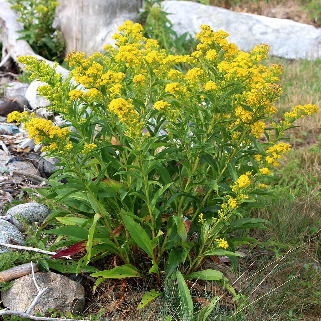 Goldenrods Seaside Goldenrod Solidago Sempervirens Seeds Wild Seed Project Shop