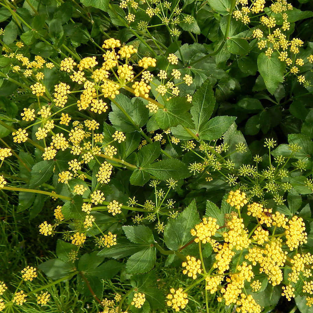 Heart-leaved Alexanders (Zizia aptera)