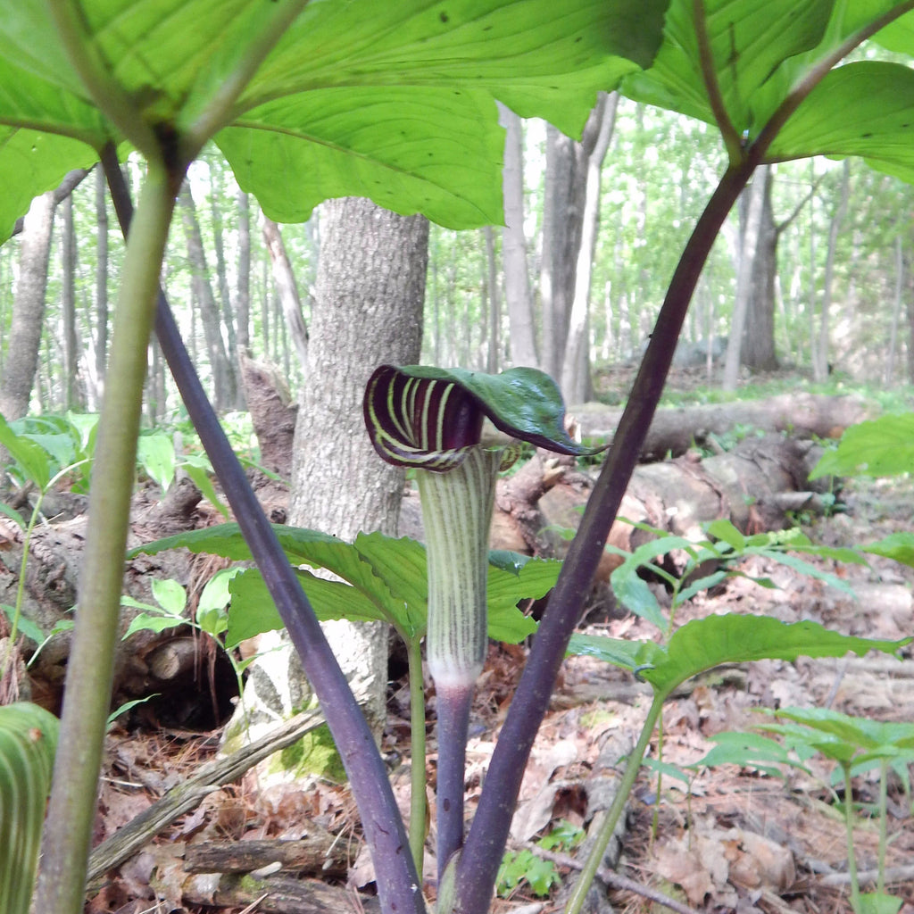 Jack-in-the-pulpit has a distinctive green or purple and white hooded flower emerges above a single three-leaved stem.
