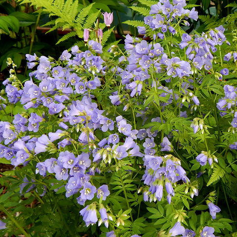 Jacob's-ladder (Polemonium reptans)