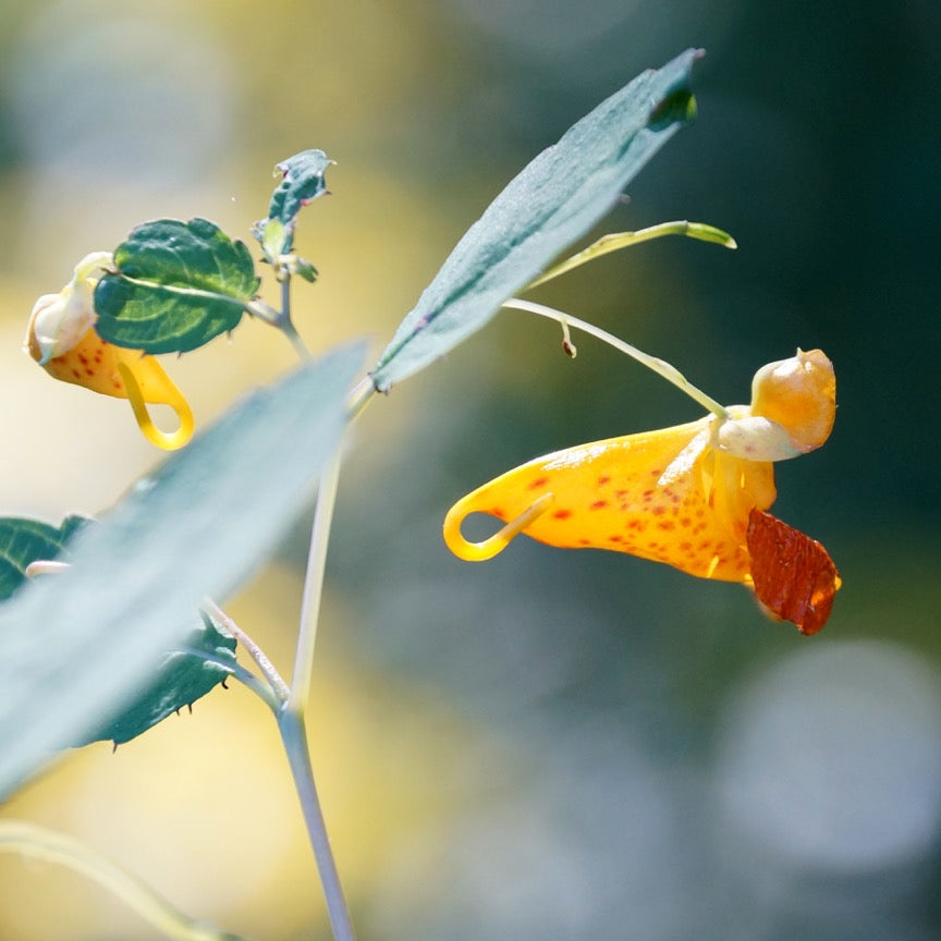 Jewelweed (Impatiens campensis)