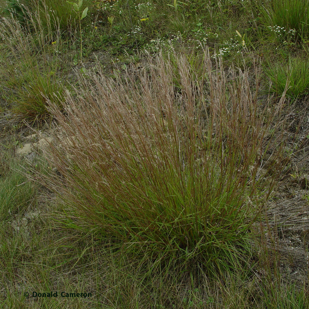 Little bluestem (Schizachyrium scoparium) Distinctive clumps of blue-green foliage turn copper as fall sets in.