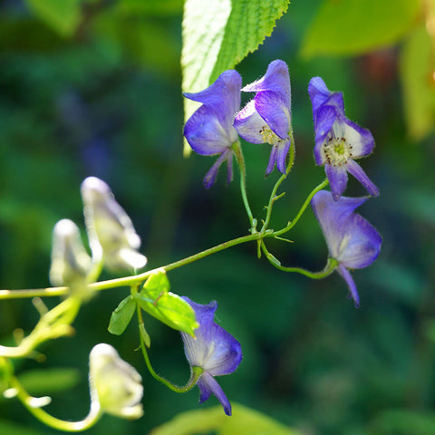 Wild monkshood<br>(Aconitum uncinatum)