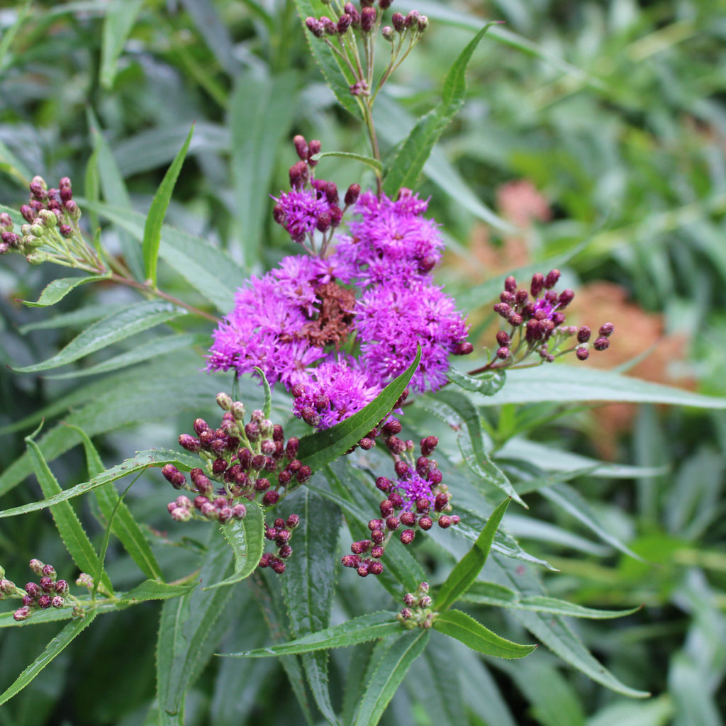 New York ironweed (Vernonia noveboracensis) Dramatic, large summer-blooming plant excellent for borders, rain gardens, and meadows.