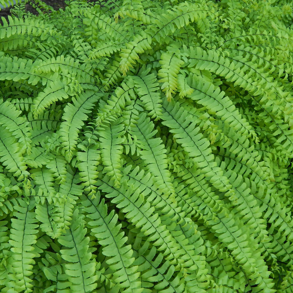 Northern maidenhair fern (Adiantum pedatum) Delicate emerald green fronds with black stems make this distinctive fern an excellent addition to a shady landscape.