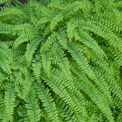 Ferns — Northern maidenhair fern (Adiantum pedatum) Seeds