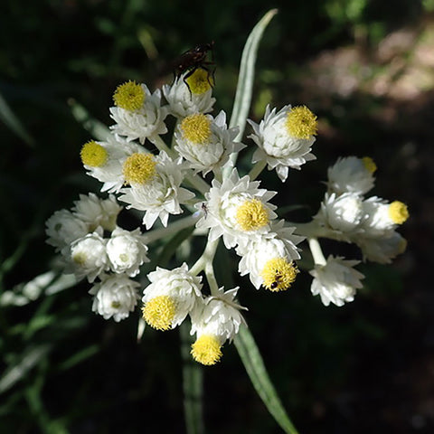 Pearly everlasting (Anaphalis margaritacea) Seeds