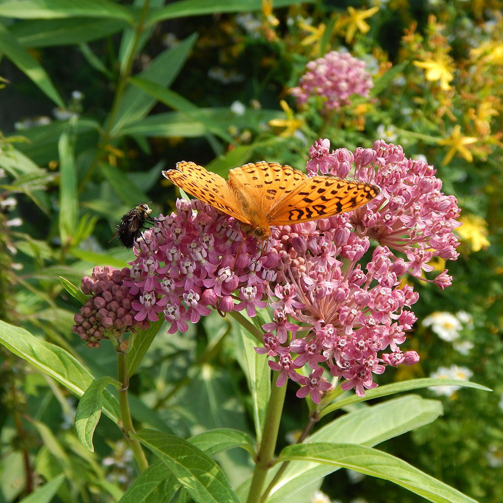 Swamp milkweed (Asclepias incarnata): Summer-blooming pink milkweed well suited to gardens. Important host plant for monarch butterflies; flowers and foliage support numerous insect pollinators.